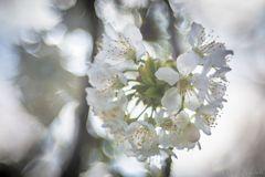 ... der Brautschmuck des Frühlings ...