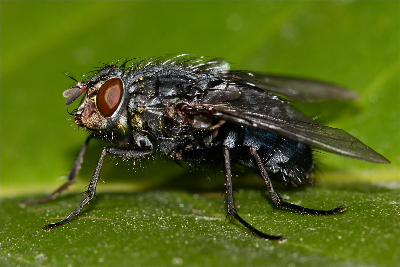 Der Brummer des Tages - die dickste Fliege heute - und eine der ersten dieses Jahr . . .