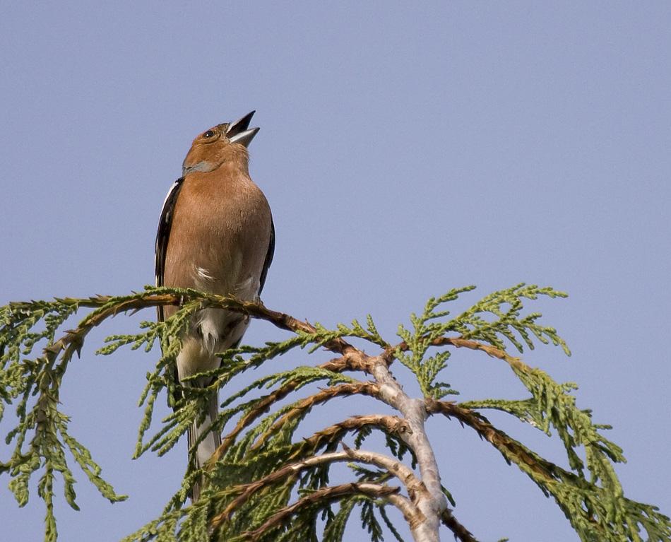 Der Buchfink singt sein Lied