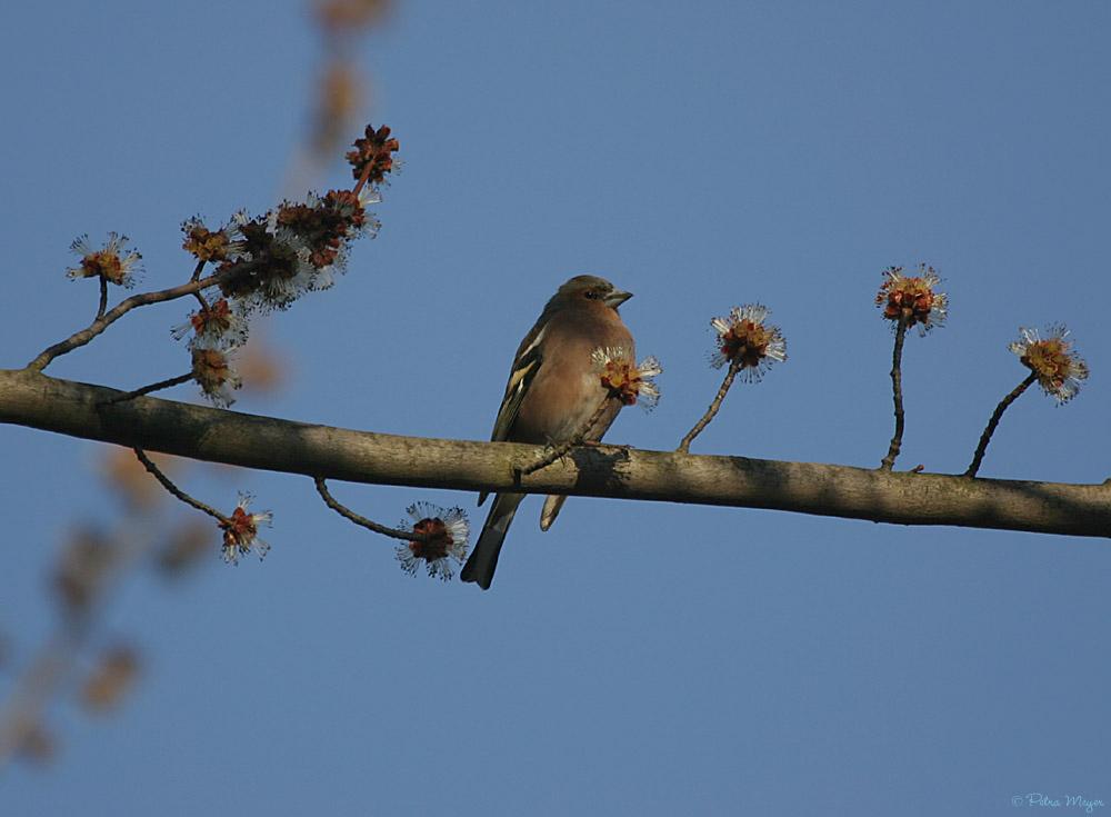 Der Buchfink und die Frühlingsboten....