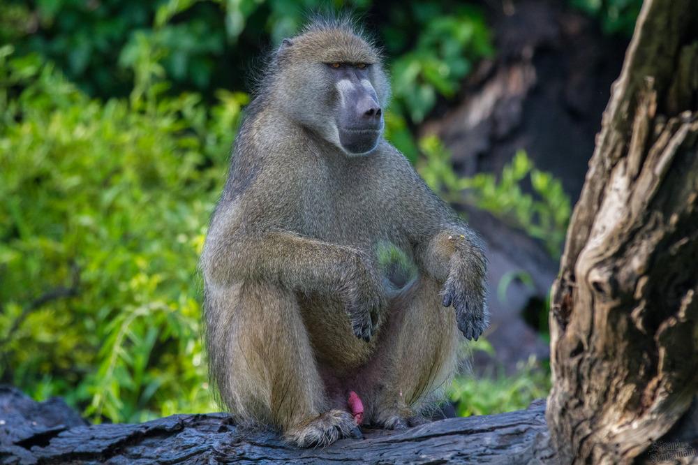 Der Chef der Baboons (Pavian)
