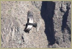 Der Condor Anden -3- in Peru