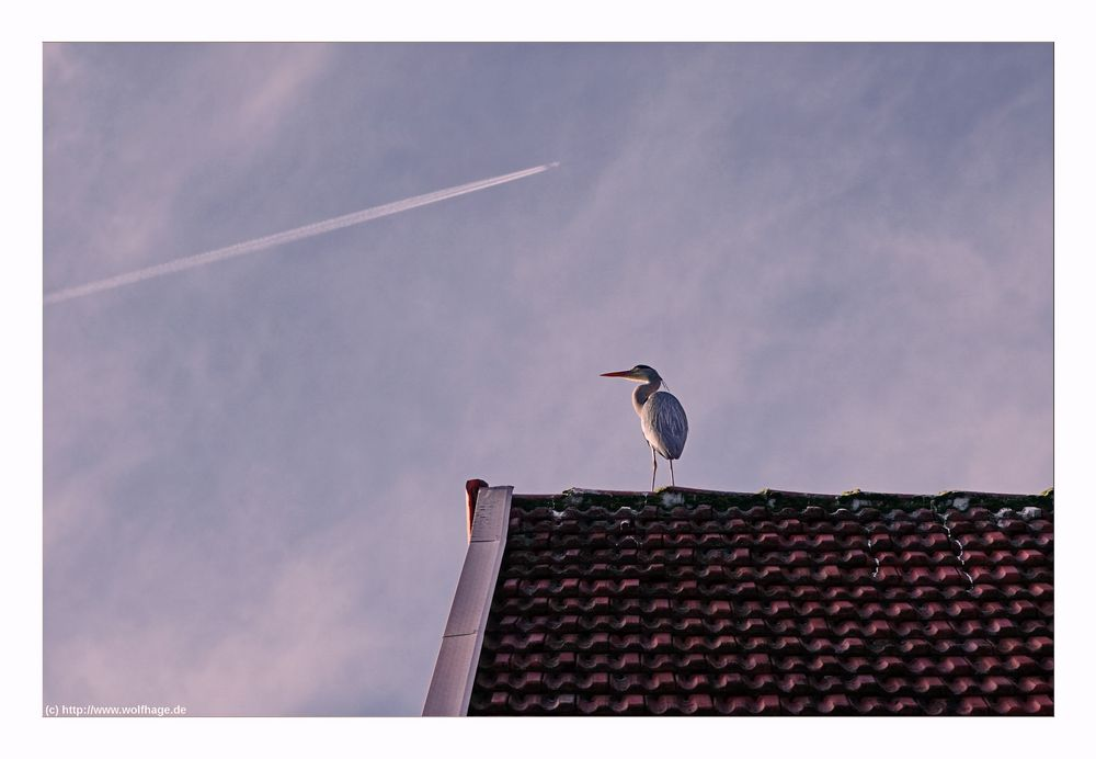 Der Dachreiher