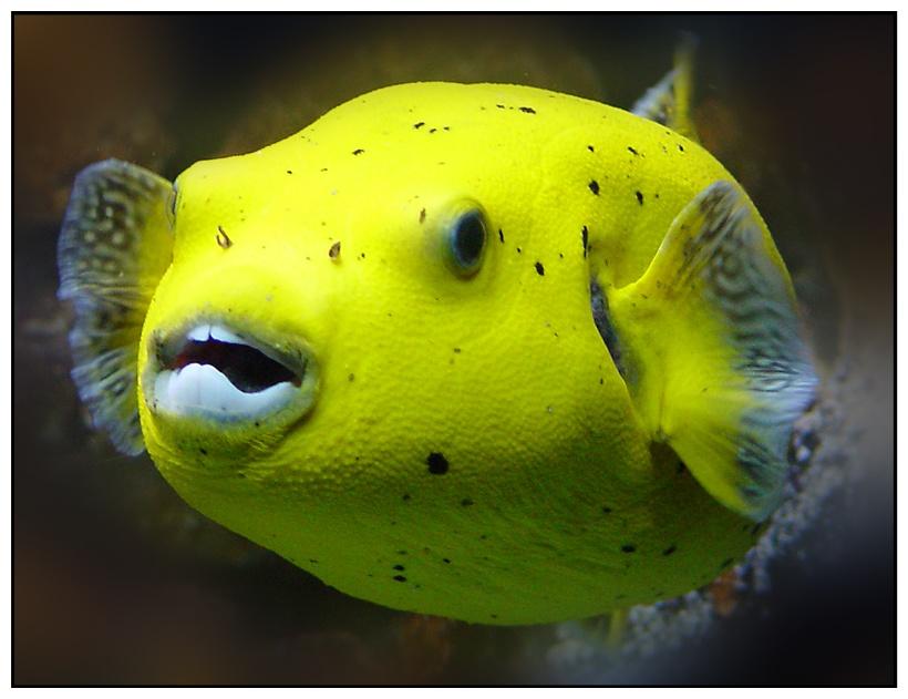 Der DENTAL - Fisch