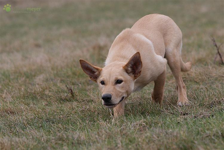 Der Dingo