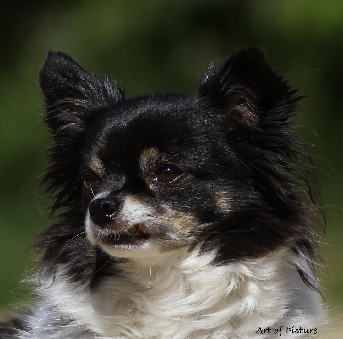 der Dobermann im Chihuahua