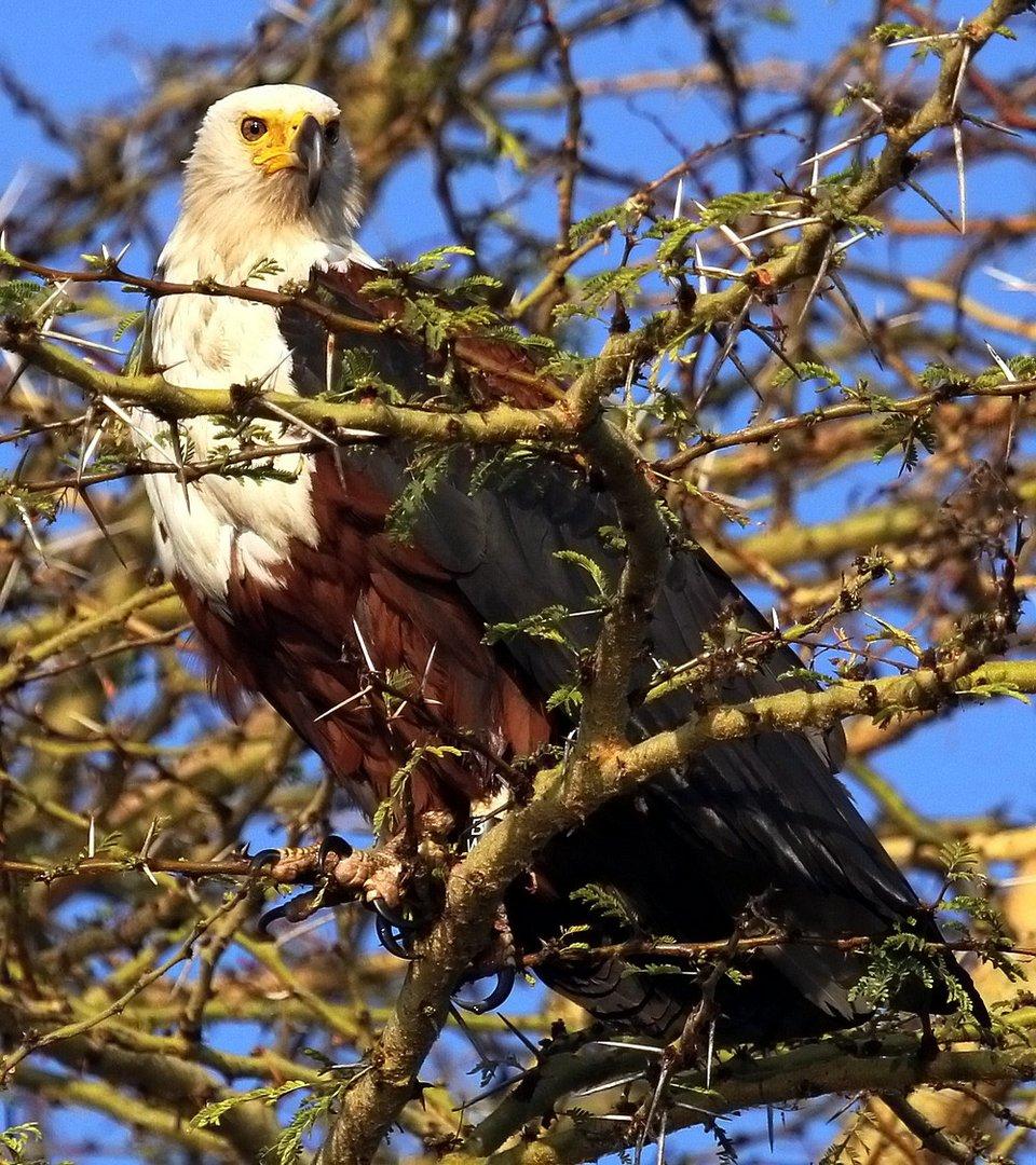 Der Dornenvogel