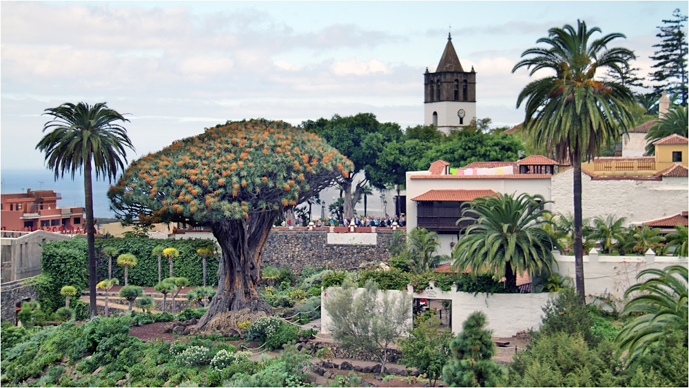 Der Drachenbaum in dem Ort  Icod de los Vinos...