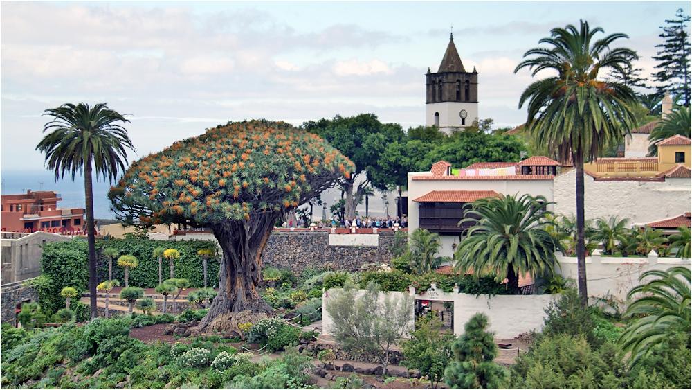 Der Drachenbaum in dem Ort Icod de los Vinos... Foto ...