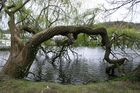 der durstige Baum
