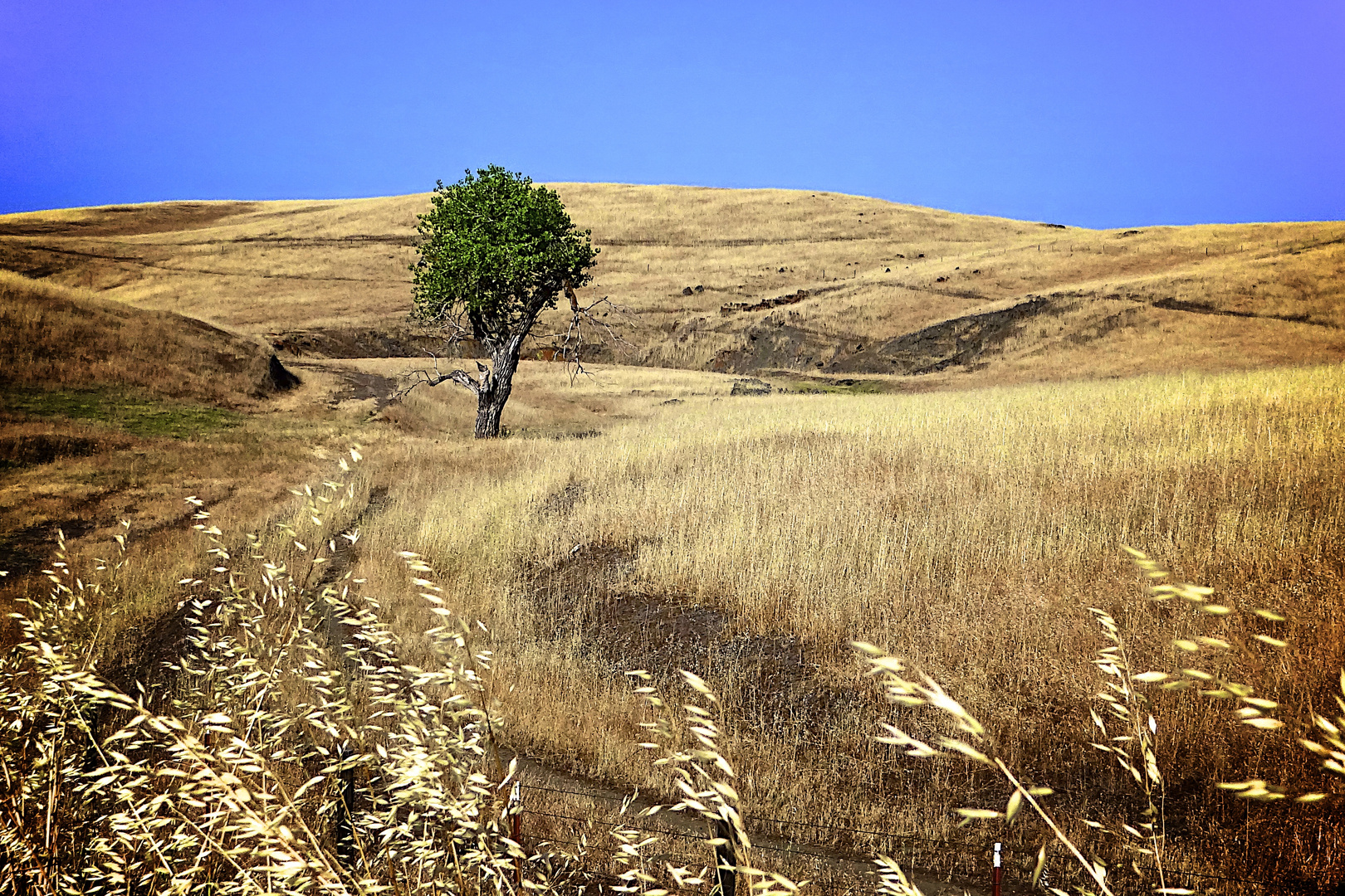 Der einsame Baum bei Mariposa