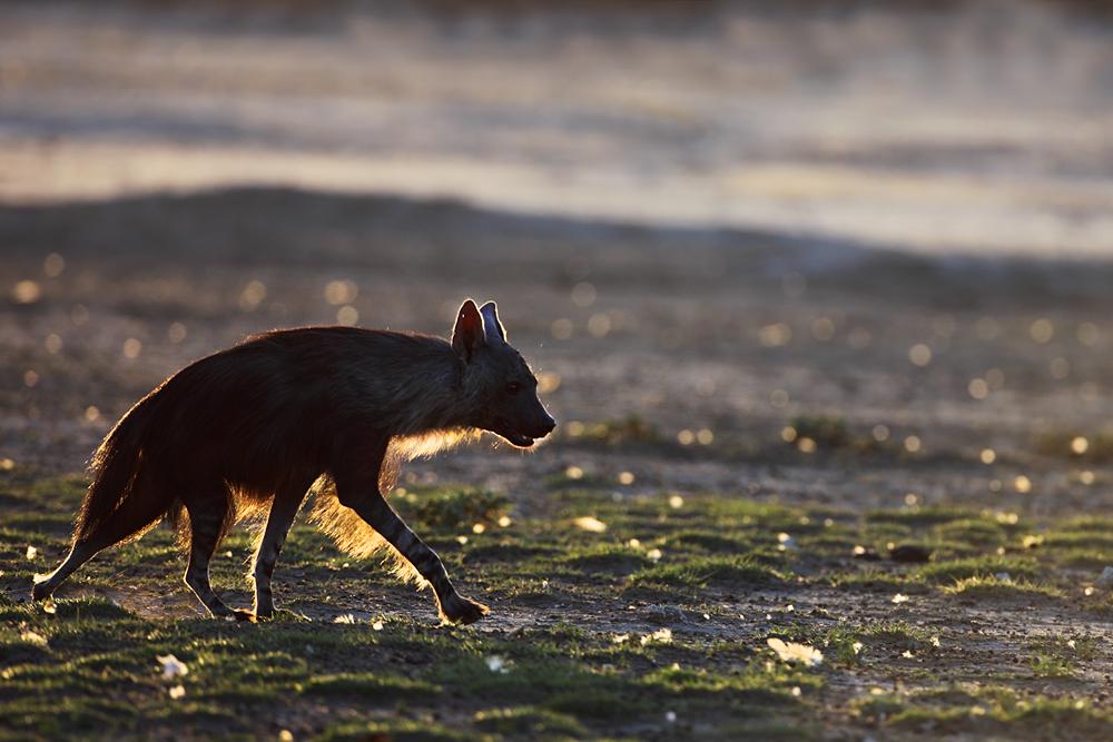 Der Einzelgänger - Braune Hyäne!