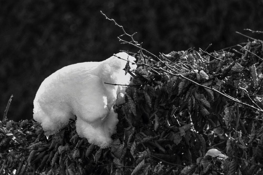 der Eisbaer auf meiner Hecke