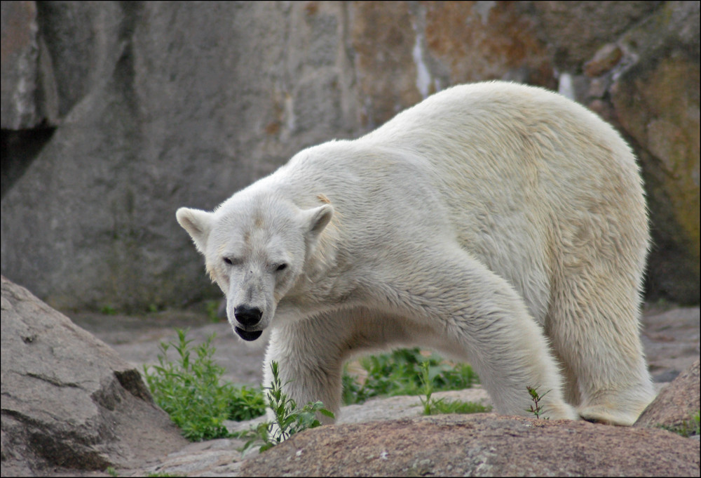 Der Eisbär-Sinnbild des Klimawandels