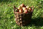 Der erste Apfelkorb