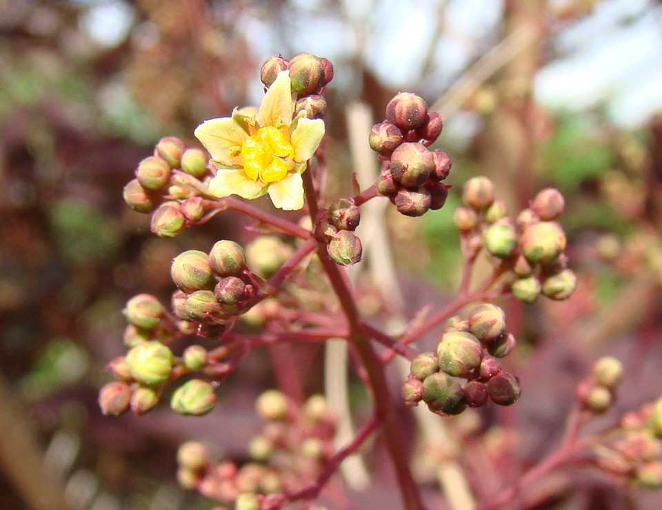 Der erste Blütenstern