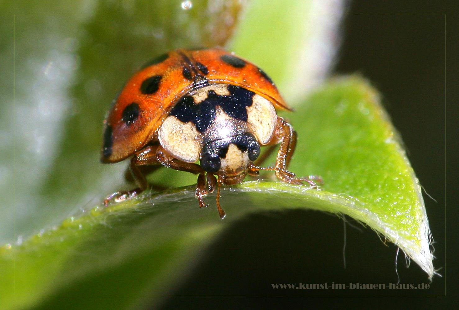 Der erste Coccinellidae