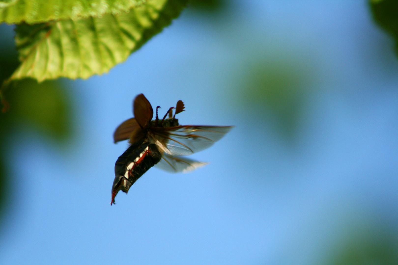 Der Erste Mai-Käfer im Anflug