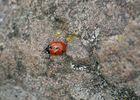 Der erste Marienkäfer dieses Jahr.........