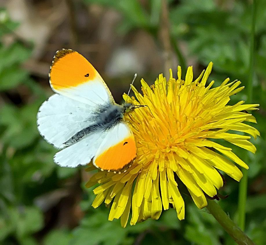 Der erste Schmetterling diese Jahr