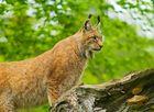 Der Eurasische Luchs oder Nordluchs (Lynx lynx)