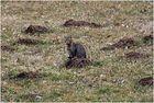 Der extrem seltene Katzenmaulwurf ...