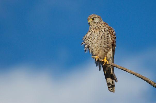 Der Falke als solcher