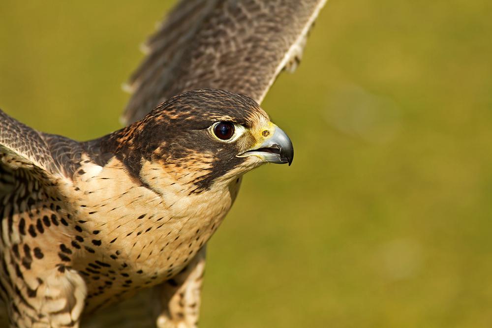 Der Falke (Falco)