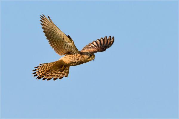 Der Falkenflug