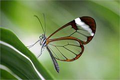 der filigrane Glasflügler
