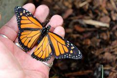 Der Fingersitzer 211 Danaus plexxipus, Monarchfalter