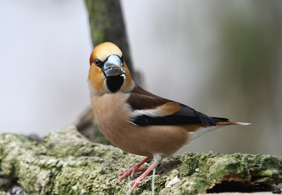 Der Finkenkönig