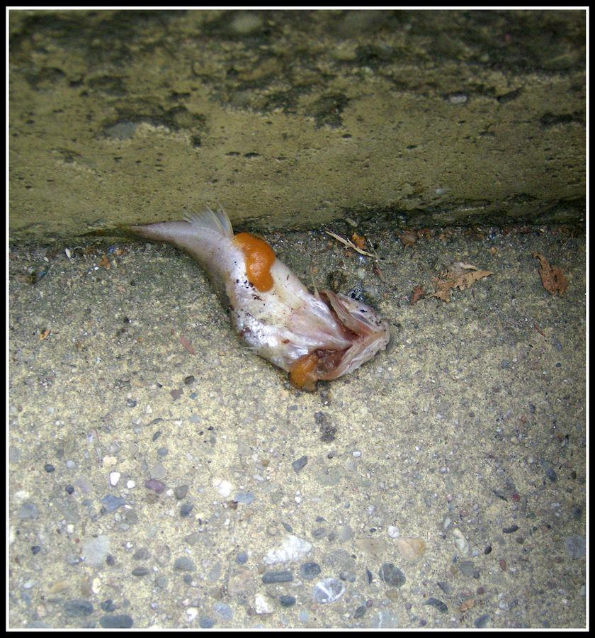 der Fisch is putt