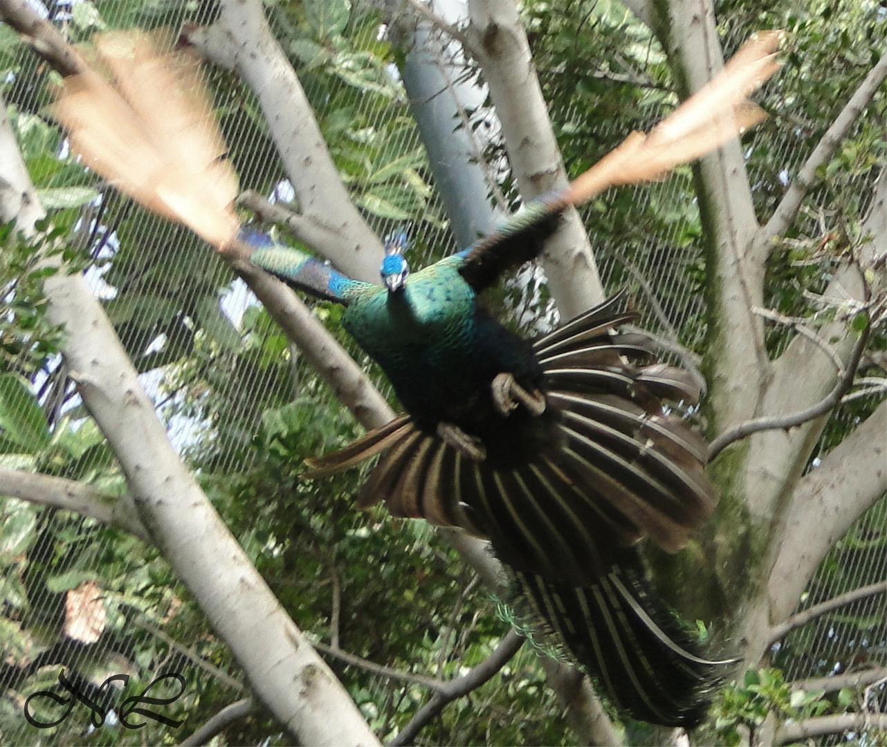 Der fliegende Pfau