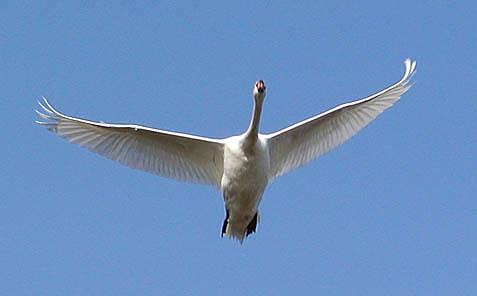 Der fliegende Schwan