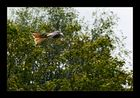 Der Flug des Rotmilan (2)