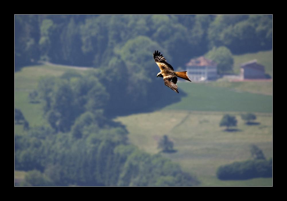 Der Flug des Rotmilan
