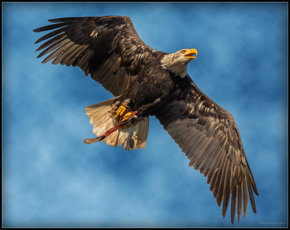 Der Flug des Weisskopfseeadles