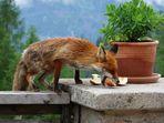 Der freche Fuchs...