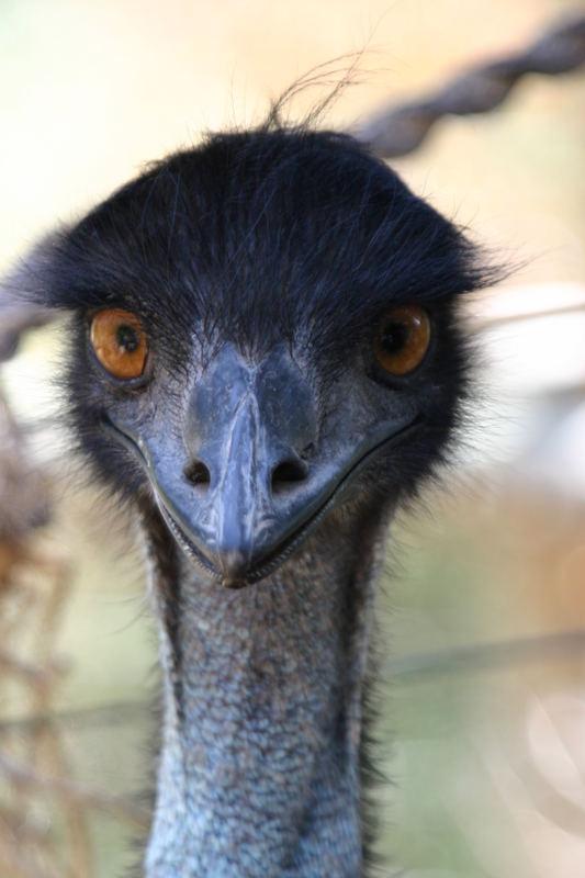 der frisierte emu