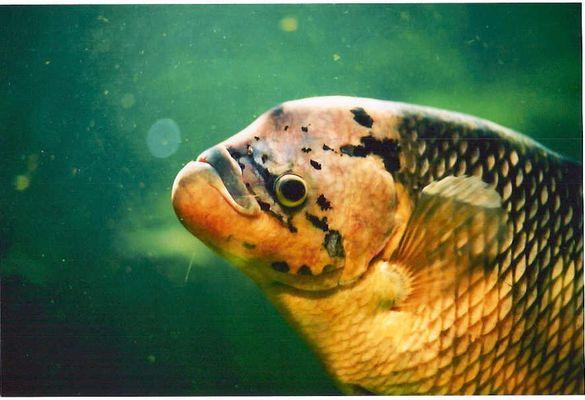 Der Froehliche Fisch