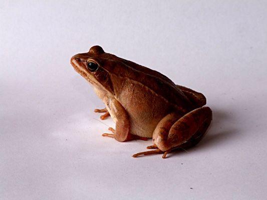 Der Frosch #1