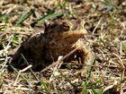 Der Frosch 1