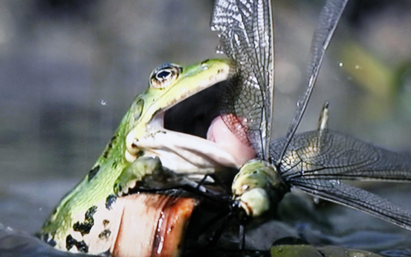 Der Frosch auf Beutefang.