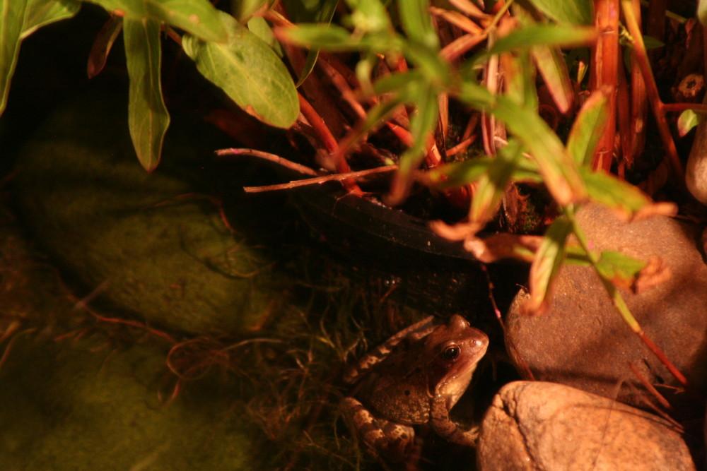 Der Frosch im Gartenteich