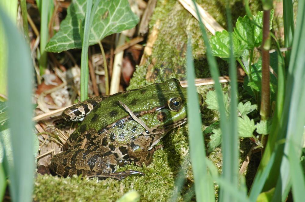 Der Frosch im Gras