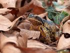 Der Frosch im Laub