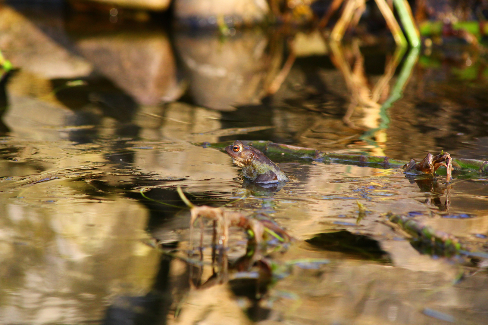 Der Frosch im Teich