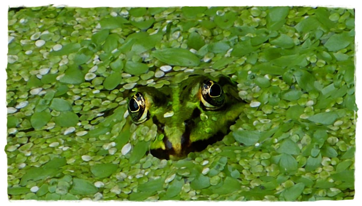 Der Frosch in den Plinsen