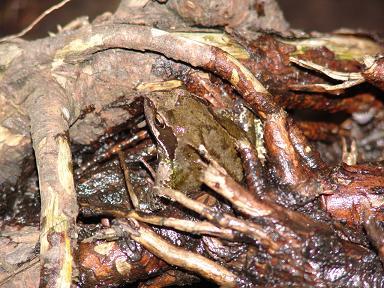 Der Frosch in der Baumwurzel